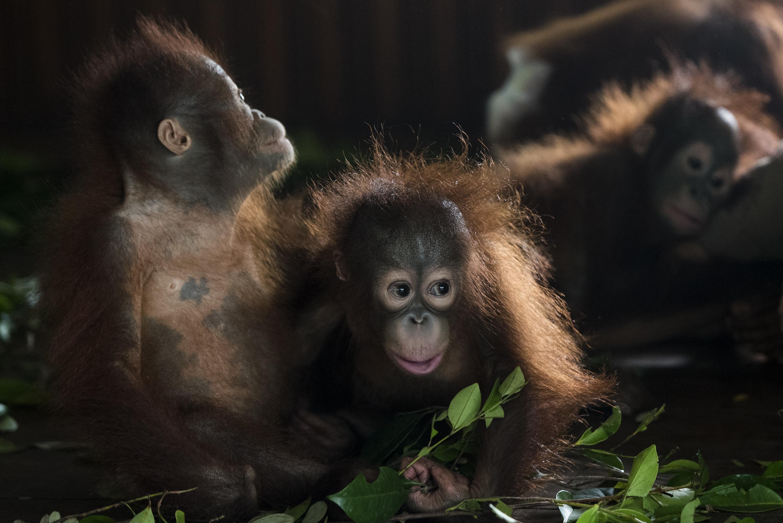 Orangutan Babies - 2018 Asia-Pacific Rainforest Summit Photo Competition