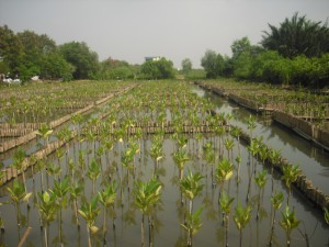 indonesian mangrove rehabilitation
