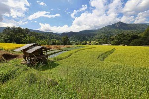 rice field by forested mountains