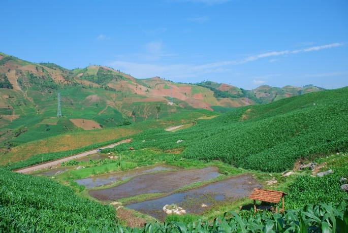 a landscape of maize
