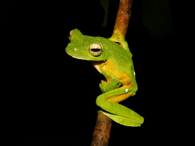 green flying frog