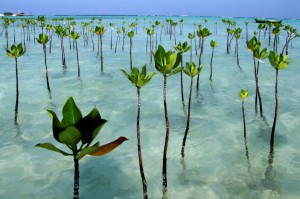mangrove trees in pari island
