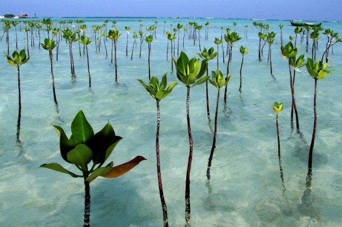 mangrove trees in pari island
