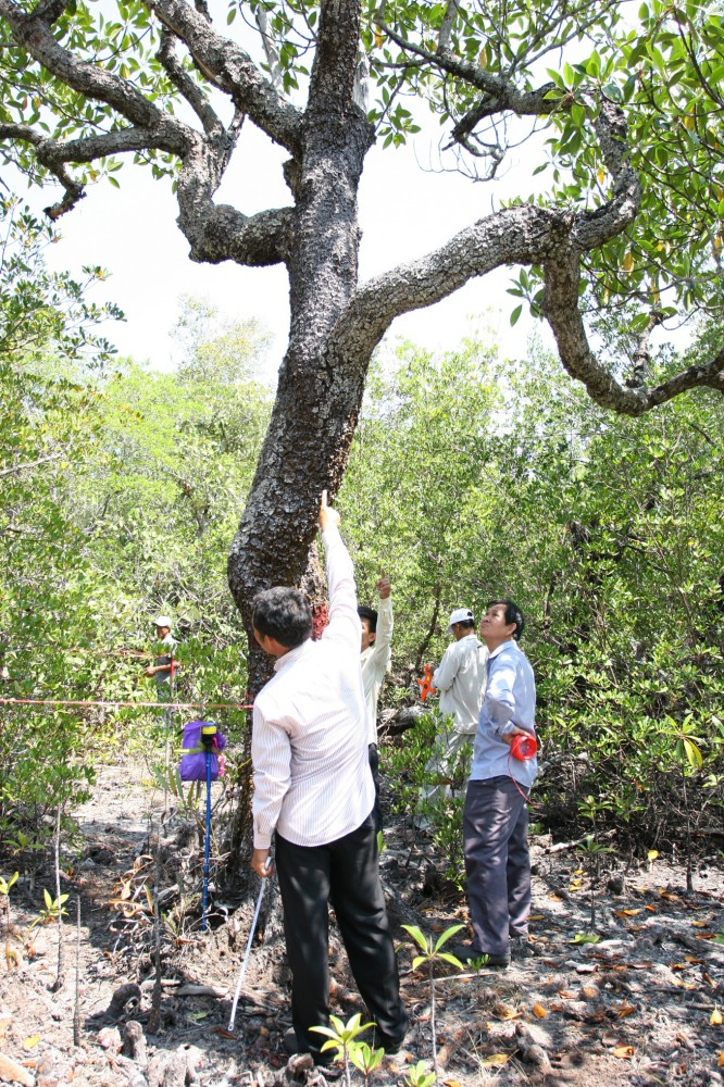 forestry officers debate on height of tree in cambodia rsquo s rear mangrove forest