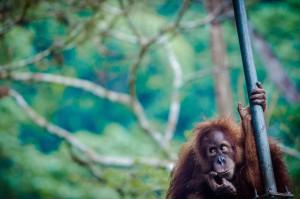 help our orangutans