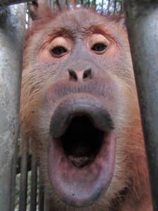 orangutan orphan in sumatra