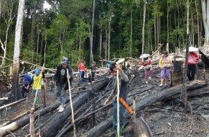 working together planting rice in kalimantan rsquo s old growth forest