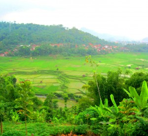 rice field in valley