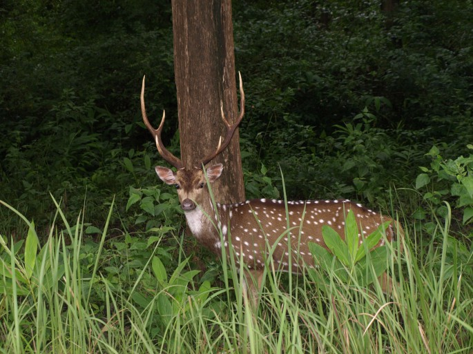 spotted deer in rajiv gandi national park
