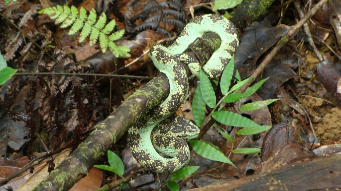malabar pit viper a perfect camouflage