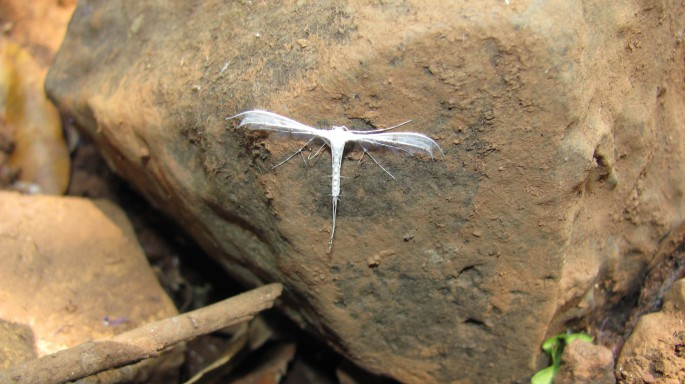 the plume moth