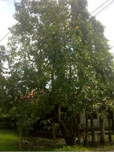 A single fruit-bearing tree in a residential area.