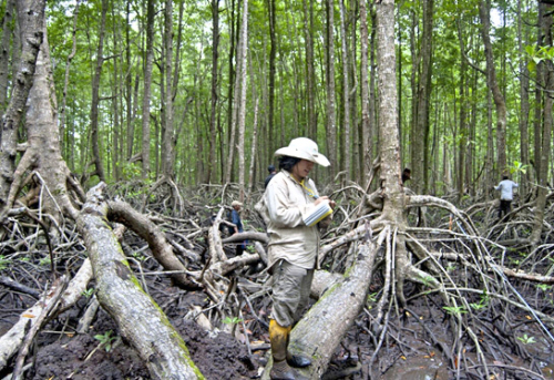 INDONESIAN MANGROVES SPECIAL: Indonesia's best hope for slowing climate change